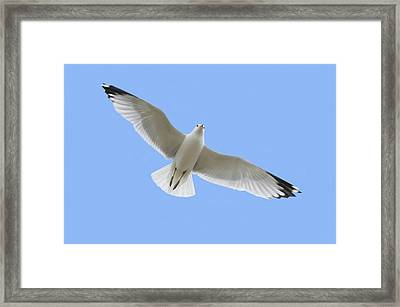 A Soaring Dove Framed Print by Don Hammond