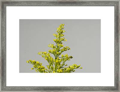 A Solidaster Solidaster Luteus Framed Print by Joel Sartore