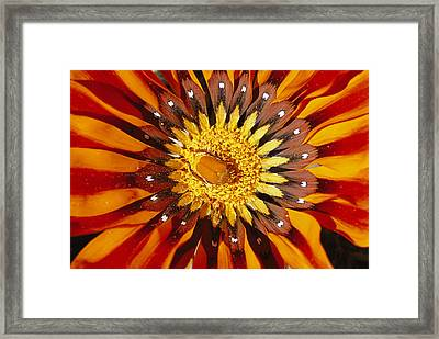 A South African Monkey Beetle Burrows Framed Print