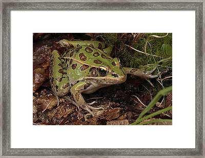 A Southern Leopard Frog Pauses In Leaf Framed Print by George Grall