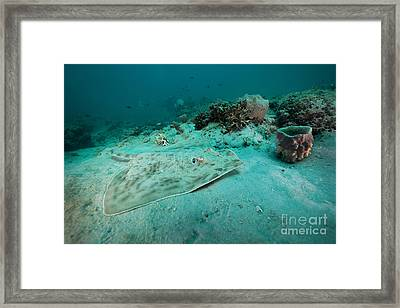 A Southern Stingray On The Sandy Bottom Framed Print by Michael Wood