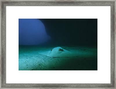 A Southern Stingray Resting On The Sea Framed Print by Wolcott Henry