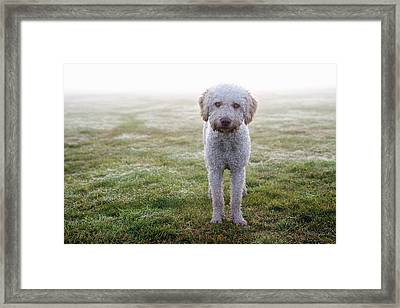 A Spanish Water Dog Standing A Field Framed Print