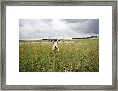 A Spanish Waterdog Running Through A Field Framed Print by Julia Christe
