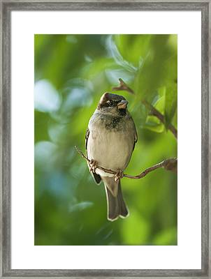 A Sparrow Perched On A Small Branch Framed Print by Ben Welsh