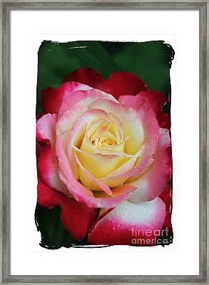 A Special Rose Framed Print