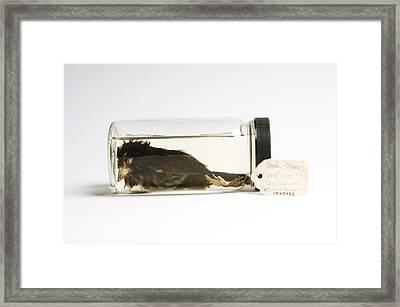 A Specimen Of The Last Dusky Seaside Framed Print by Joel Sartore