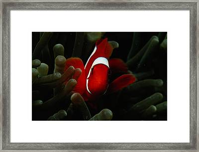 A Spinecheek Anemonefish Premnas Framed Print by Tim Laman