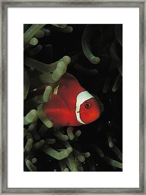 A Spinecheek Anemonefish Swims Framed Print