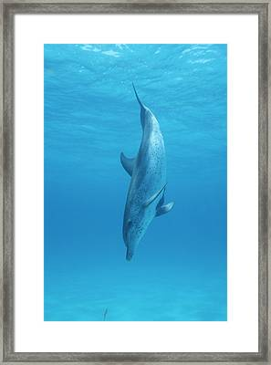 A Spotted Dolphin Does A Nose Dive Framed Print by Wolcott Henry