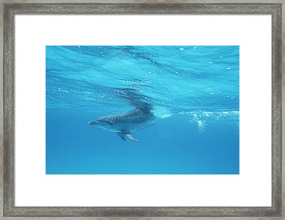 A Spotted Dolphin In The Waters Framed Print by Wolcott Henry