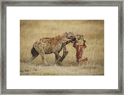 A Spotted Hyena Carries A Piece Framed Print by Tim Laman