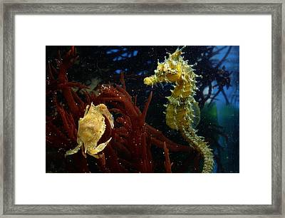 A Spotted Young Blue Crab, Callinectes Framed Print