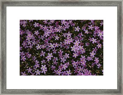 A Spray Of Purple Phlox Flowers Fills Framed Print by James P. Blair
