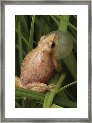 A Spring Peeper Calls For A Mate Framed Print by George Grall