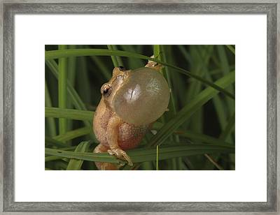 A Spring Peeper Faces The Camera Framed Print by George Grall