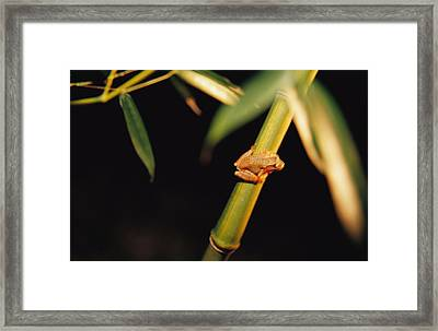 A Spring Peeper Frog Perches Framed Print by Raymond Gehman