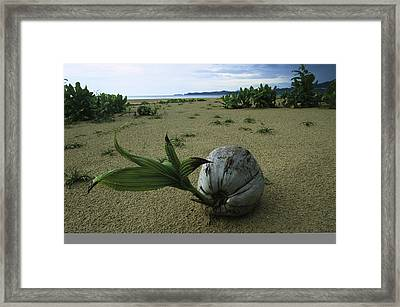 A Sprouting Coconut Lying On A Sandy Framed Print