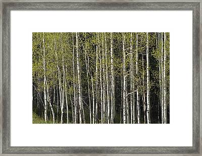 A Stand Of Aspen Trees At Wolf Creek Framed Print by Rich Reid