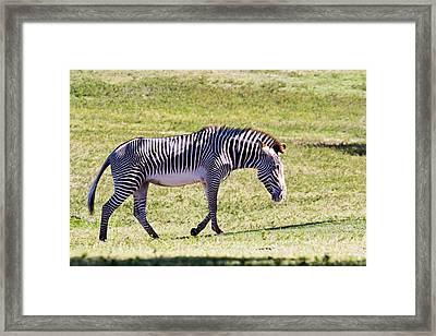 A Striped Ass Framed Print by Nicholas Evans