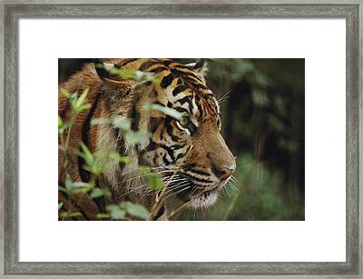 A Sumatran Tiger In The Asian Domain Framed Print