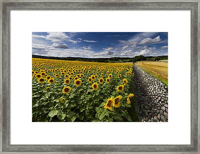 A Sunny Sunflower Day Framed Print by Debra and Dave Vanderlaan