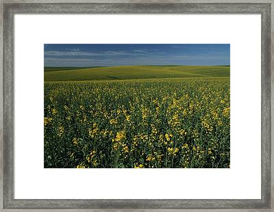 A Sweeping View Of Mustard Fields Framed Print