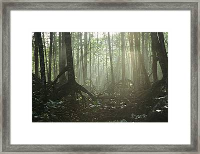 A Tangle Of Buttressed Roots In A Misty Framed Print by Tim Laman