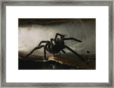 A Tarantula, Family Theraphosidae Framed Print by Tim Laman