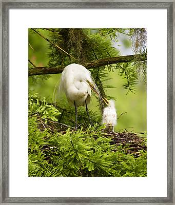 A Tender Moment - Great Egret And Chick Framed Print by Bill Swindaman
