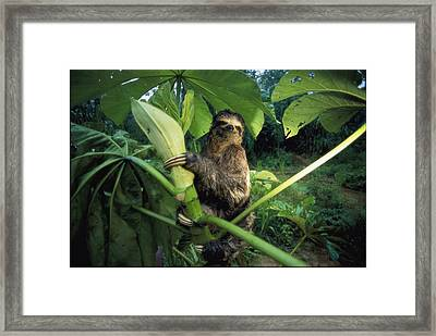 A Three-toed Sloth Feeds On The Leaves Framed Print by Joel Sartore