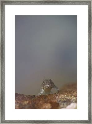 A Tidepool Sculpin Looks At The Camera Framed Print by Taylor S. Kennedy