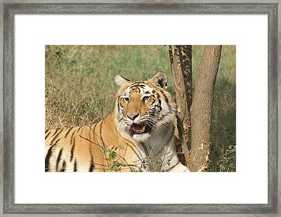 A Tiger Lying Casually But Fully Alert Framed Print