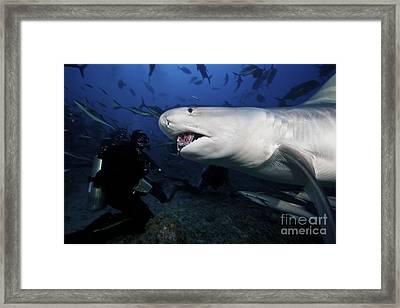 A Tiger Shark Consumes A Large Tuna Framed Print