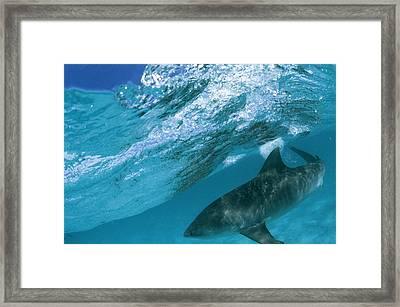 A Tiger Shark Cruising Blue Waters Framed Print by Bill Curtsinger