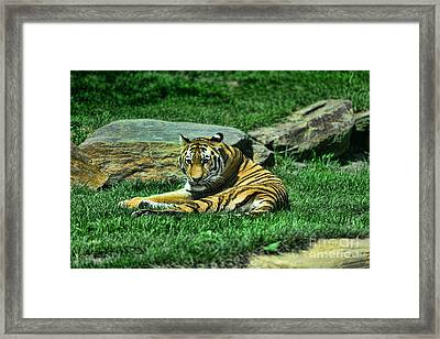 A Tiger's Gaze Framed Print