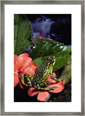 A Tiny Adult Painted Toad Atelopus Framed Print