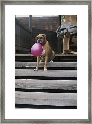 A Tough Looking Boxer Delicately Holds Framed Print by Marc Moritsch