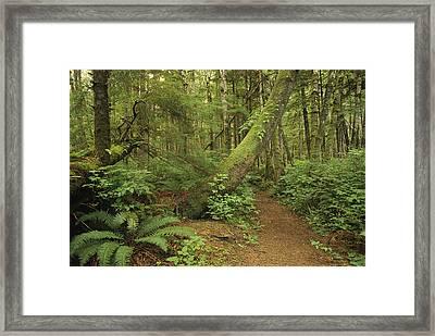 A Trail Cuts Through Ferns And Shrubs Framed Print