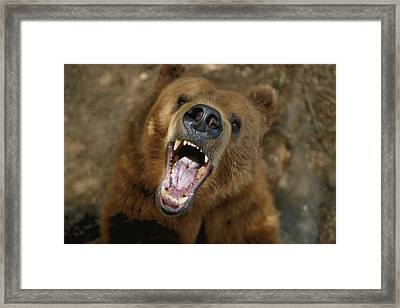A Trained Kodiak Bear With Its Mouth Framed Print by Joel Sartore
