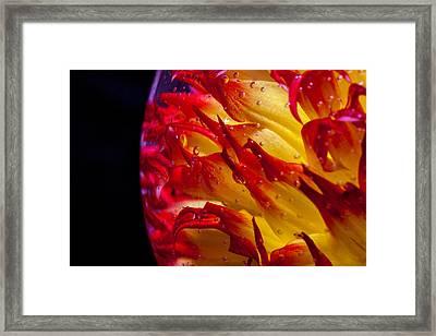 A Trapped Dahlia Framed Print