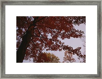 A Tree Displays Bright Red Autumn Framed Print by Stephen Alvarez