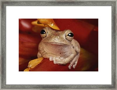 A Tree Frog Shelters In A Bromeliad Framed Print by George Grall