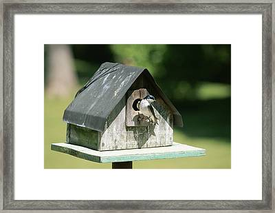 A Tree Swallow Perched Framed Print by Taylor S. Kennedy