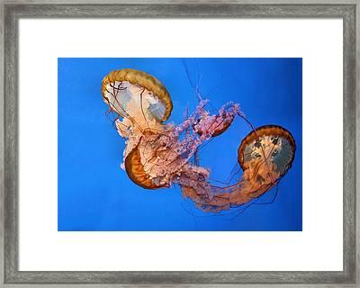 A Trio Of Jellyfish Framed Print by Kristin Elmquist