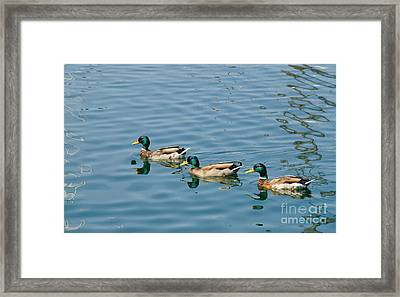 A Trio Of Mallards Framed Print
