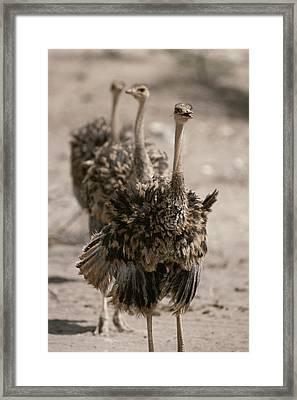 A Trio Of Ostriches, Struthio Camelus Framed Print by Tom Murphy