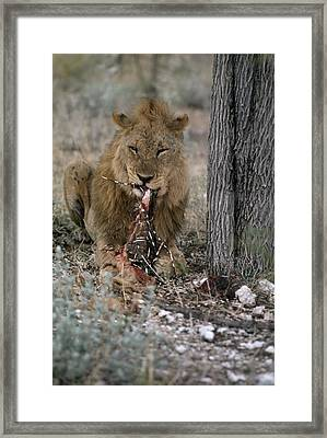 A View Of A Lion Panthera Leo Eating Framed Print by Des &Amp Jen Bartlett