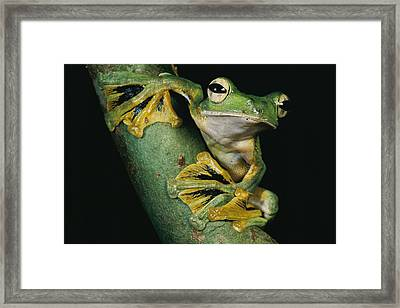 A Wallaces Flying Frog, Rhacophorus Framed Print by Tim Laman