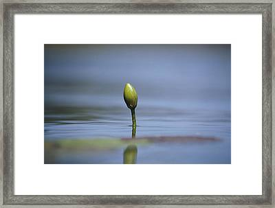 A Water Lily Flower Bud Emerging Framed Print by Jason Edwards